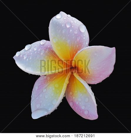 Isolated pink blossom flower with water drops on black background Frangipani flowers or plumeria is a popular perennial plant. It had founded in South America, Central America and Caribbean Islands and spread to Southeast Asia. This flowers are many color