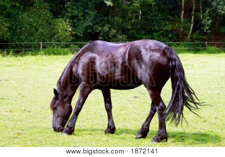 Dutch Black Horse