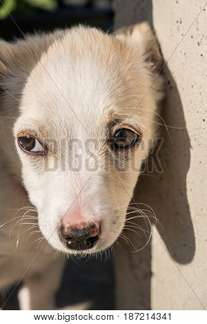 Cute crossbreed beige dog puppy with sad eyes