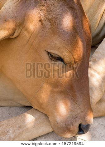 Portrait Of Cow On A Sunny Day.