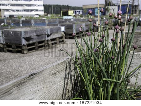 Chives grown in a wooden box in an outdoor Urban Garden by the Docks in Jutland Denmark