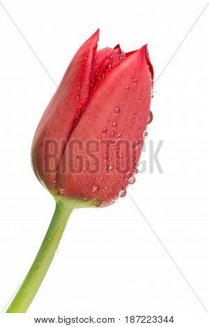 Red tulip with water droplets on white