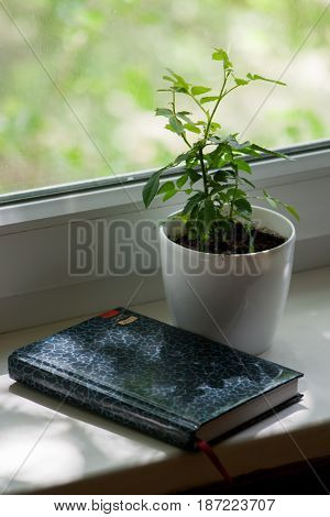 Potted rose on the windowsill with the diary