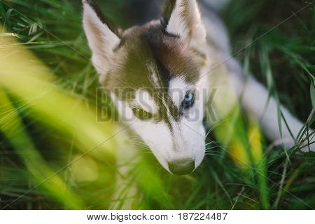 husky dog puppy playing in green grass