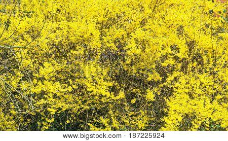 Nice close up, Large yellow flowering broom.