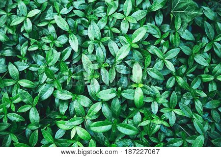 Dark green foliage of a healthy plant. Perfect green leaf for background