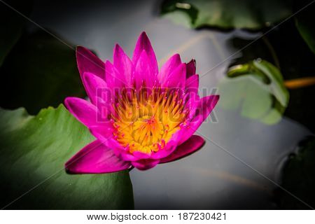 Side view Closeup pink lotus flowers small bloom, low key