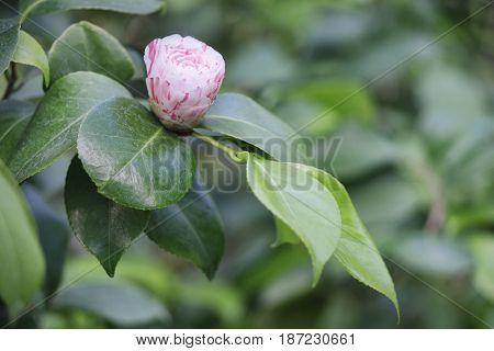 Japanese Camellia (camellia Japonica) Pink Bud