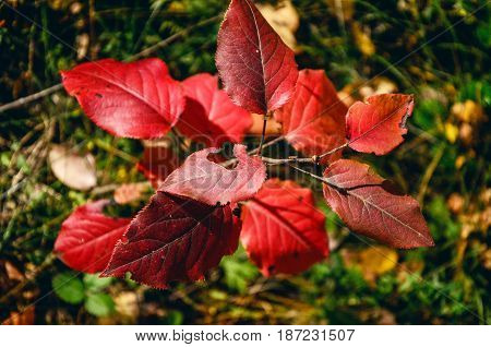 Red leaves of a young tree in the forest.