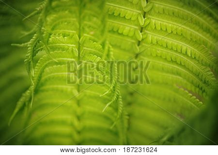 Fern leaf in the forest. Close-up green backgrund