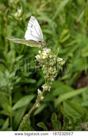 White butterfly on a flower. Insects wild life.