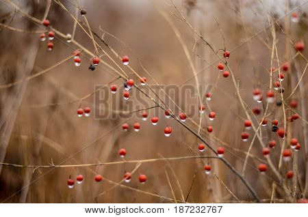 Red berry on dry herb in autumn forest background