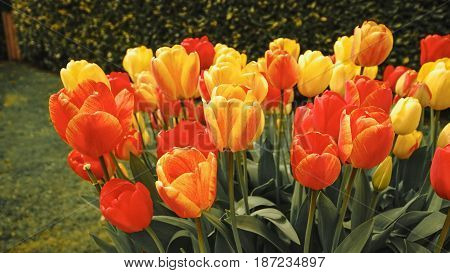 red yellow bunch of beautiful colorful fresh tulip flower tree in england europe day time / colorful tulip