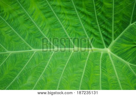 Texture of a green leaf for background