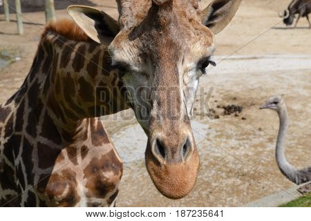 La cabeza de una jirafa en primer plano