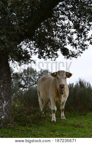 Una vaca que observa bajo un árbol