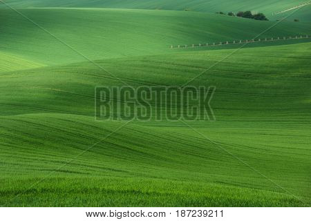 Summer rolling green hills with fields of wheat and trees. Amazing fairy minimalistic spring landscape with green grass fields in the morning in South Moravia, Czech Republic. Fifty shades of green