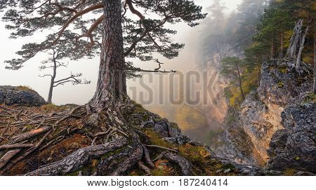 Roots. Severe foggy mountain autumn landscape with a pine, growing on the edge of the abyss and winding roots in the foreground. Mountain LagoNaki plateau, Adygea, Russia. Mountain landscape.