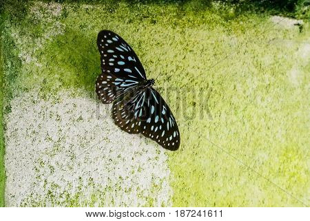 Beautiful black butterfly on green cement wall texture background.
