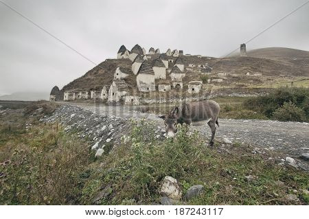 Donkey eats a thorn. Crypts Alans near the village Dargavs in North Ossetia.