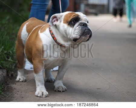 Portrait of a dog on a walk. Beautiful English bulldog collar