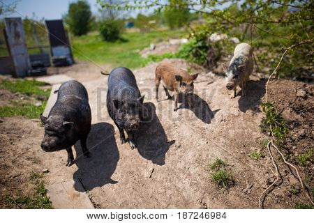 Pigs are walking on the grass at sunny day