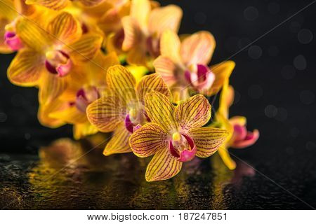 Beautiful Spa Composition Of Blooming Twig Stripped Orange Orchid (phalaenopsis )with Drops On Black