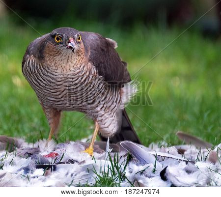 Female Sparrow hawk with kill on house lawn.