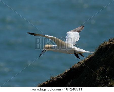 Gannet nesting at Bempton in Yorkshire. Large seabird.