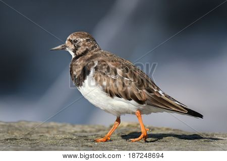 Turnstone. Turnstones are two bird species that comprise the genus Arenaria in the family Scolopacidae. They are closely related to calidrid sandpipers and might be considered members of the tribe Calidriini.