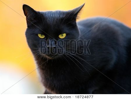 portrait of a black cat on a blurry background