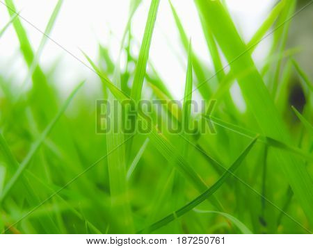 Grass Meadow Weed