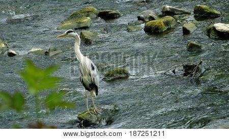 Grey heron standing on boulder in river