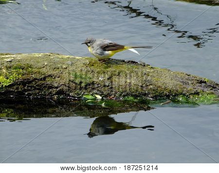 Grey wagtail standing on log with reflection in water