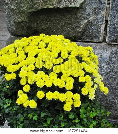 beautiful yellow flowers with green leaves on stone wall background