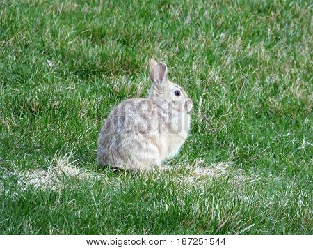 A small Bunny or Rabbit in our back yard.