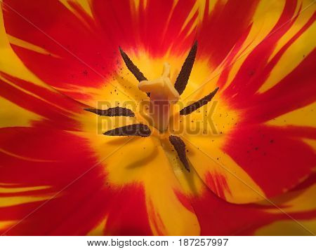 Orange and yellow tulip flower close up