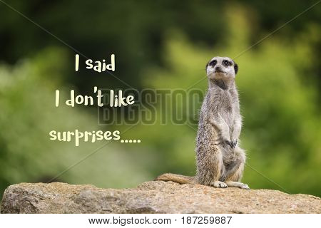 Cute meerkat sitting upright on rock, looking annoyed and saying I don't like surprises.