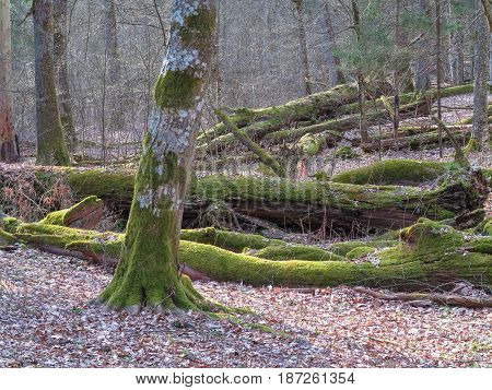 Springtime old deciduous stand with old broken oaks lying partly declined, Bialowieza Forest,Belarus, Europe