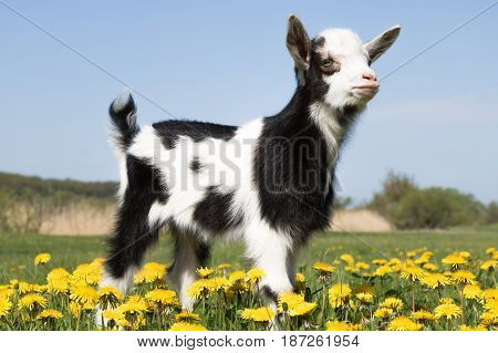 Young funny goat on the field in dandelions