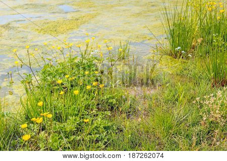 Colorful flowering wild plants and grasses on the water side. The water surface is covered with duckweed.