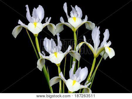 White Dutch Irises on a dark background