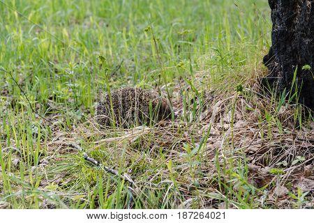 Hedgehog. A Hedgehog In The Wood.