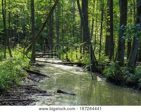 Natural river in summer midday with lot of alder trees and plants along, Balowieza Forest, Poland, Europe