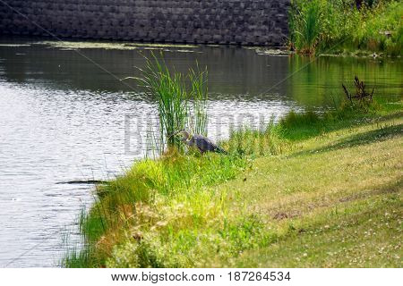 A great blue heron (Ardea herodias) eats a fish along the shore of a small lake in Joliet, Illinois during July.