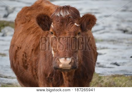 Great looking shaggy brown cow on the Burren in Ireland.