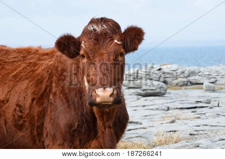 Beautiful brown cow on the Burren in County Clare Ireland.