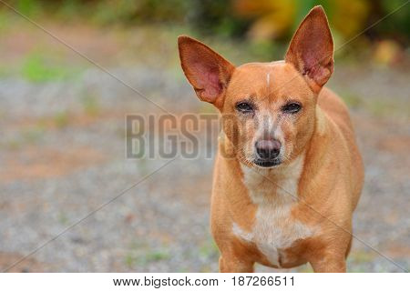 Close up face The Russian Toy Terrier dog It seems have Purpose and Unwavering Focus . Copy Space