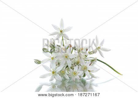 Ornithogalum umbellatum .Beautiful white flowers on a white background
