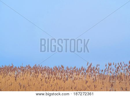 Bulrush field in front the blue sky